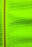 hoja del verde de la palmera del plátano Fotografía de archivo