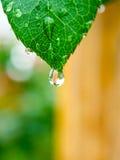 Hoja del verde del descenso del agua después de la lluvia Imagen de archivo
