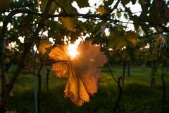 Hoja del viñedo en el amanecer Imágenes de archivo libres de regalías