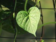 Hoja en forma de corazón en vid en luz del sol Imagen de archivo libre de regalías