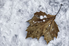 Hoja en nieve Foto de archivo