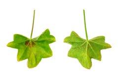 Hoja enferma del peltatum del Pelargonium Imagenes de archivo
