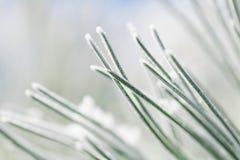 Hoja escarchada del pino Foto de archivo libre de regalías