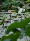 Hoja flotante del loto del lirio de agua Foto de archivo