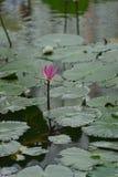 Hoja flotante del loto del lirio de agua Imágenes de archivo libres de regalías