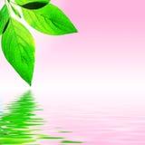 Hoja fresca, cielo rosado y agua Imagen de archivo