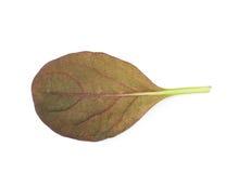 Hoja fresca de la ensalada aislada Fotografía de archivo libre de regalías