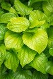 Hoja fresca del betel Imagen de archivo