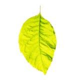 Hoja fresca verde aislada en el fondo blanco Foto de archivo libre de regalías