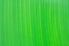Hoja fresca verde del plátano Foto de archivo libre de regalías