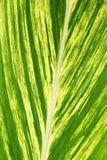 Hoja grande 1 de la fronda de la palma Imagen de archivo libre de regalías