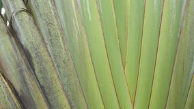 Hoja grande de la palmera Planta tropical texturizada del verde grande de la palmera con las hojas de la travesía metrajes