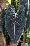 Hoja grande del árbol de la salchicha, bignoniaceae del africana del kigelia imagenes de archivo