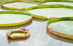 Hoja grande del loto de Victoria Foto de archivo libre de regalías