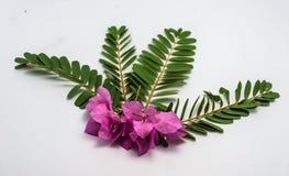 Hoja grandiflora de Sesbania fotos de archivo