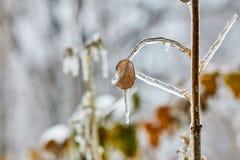 Hoja helada del briar en una rama, un invierno severo y un otoño Fotografía de archivo libre de regalías