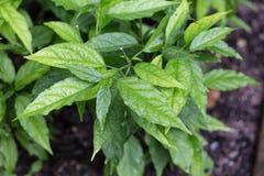 Hoja herbaria verde Fotografía de archivo