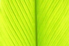 Hoja joven de la cúrcuma, fondo verde de las hojas imagen de archivo libre de regalías