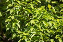 Hoja joven del árbol del camphora de la canela fotos de archivo
