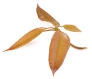 Hoja joven del mango en el fondo blanco Imagenes de archivo