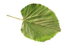 Hoja joven natural verde de la flora del jardín aislada en blanco Imagen de archivo