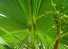 Hoja jugosa amarilla verde de la palmera Foto de archivo libre de regalías