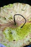 Hoja marchitada hermosa del loto Imagenes de archivo