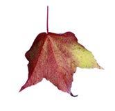 Hoja marrón verde roja de la caída en estudio Fotos de archivo