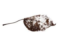 Hoja muerta oscura aislada en blanco Fotografía de archivo libre de regalías