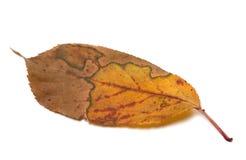 Hoja multicolora del otoño en el fondo blanco Fotografía de archivo