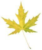 Hoja natural del álamo del otoño en blanco Imágenes de archivo libres de regalías