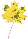Hoja natural del marple del otoño en blanco Foto de archivo libre de regalías