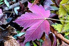 Hoja púrpura. Fotos de archivo libres de regalías