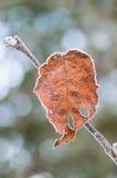 Hoja pasada en helada profunda del invierno Imagen de archivo