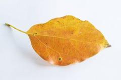 Hoja que cae anaranjada Fotos de archivo libres de regalías