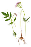 Hoja, raíz y flor de la valeriana Imagenes de archivo
