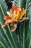 Hoja radial del Cycadaceae y hoja roja foto de archivo