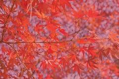 Hoja roja Foto de archivo libre de regalías