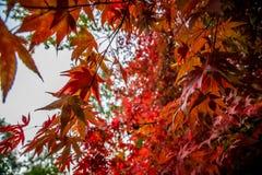 Hoja roja Autumn Tree, Queenswood, Herefordshire Fotografía de archivo libre de regalías