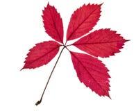 Hoja roja colorida hermosa del otoño aislada en el fondo blanco fotografía de archivo
