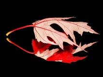 Hoja roja con su reflexión Imagen de archivo libre de regalías