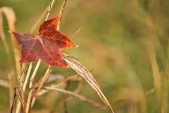 Hoja roja de la caída Fotografía de archivo
