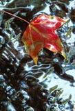 Hoja roja de Sweetgum en agua poco profunda foto de archivo libre de regalías