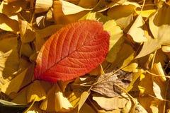 Hoja roja del amarillo de la hoja fotos de archivo