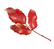 Hoja roja del ilex Fotografía de archivo libre de regalías