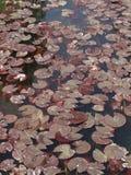 Hoja roja del loto de Brown Imagen de archivo