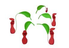 Hoja roja del Nepenthes aislada en el blanco, arte del vector Imagen de archivo libre de regalías