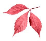Hoja roja del otoño imagen de archivo