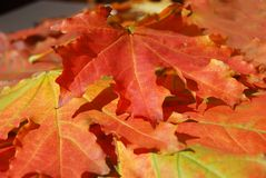 Hoja roja del otoño Fotos de archivo libres de regalías