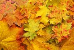 Hoja roja del otoño Fotografía de archivo